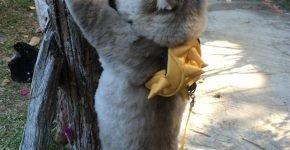 Кот Бон-Бон лезет на дерево