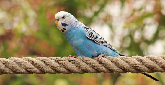 Волнистый попугай на канате