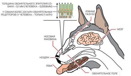 Строение носа собаки
