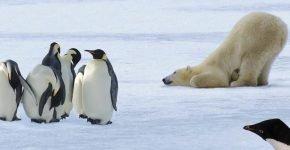 Белые медведи и пингвины