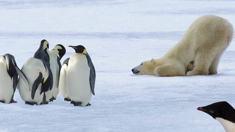 Как уживаются белые медведи и пингвины