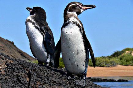 Галапагосский пингвин