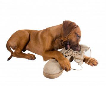 Собака грызёт обувь