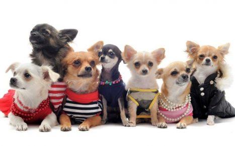 Маленькие собачки в одежде