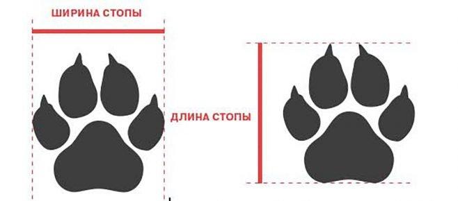 Размеры стоп у собак