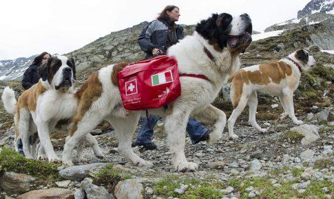 Пакет на спине сенбернара-спасателя