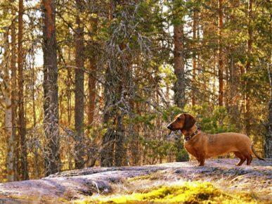 Такса в лесу