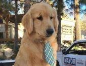 Золотистый ретривер Макс выбран мэром