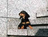 Такса на лестнице