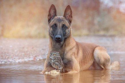 Овчарка и сова