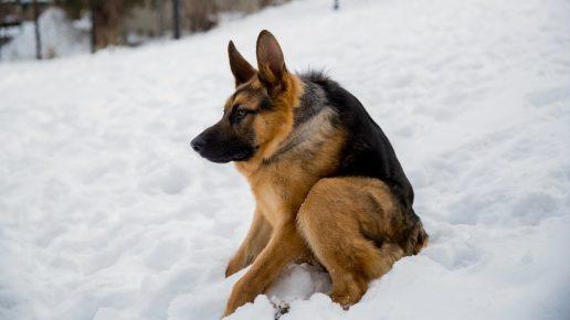 Пёс Квазимодо