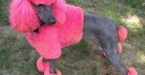Окрашенный пудель розовый с серым