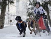 Норвежские метисы в упряжке