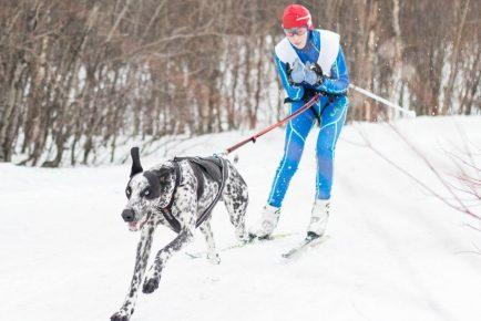 Норвежский метис с лыжником
