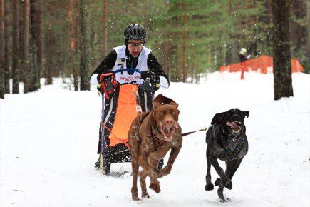Норвежский спортивный метис