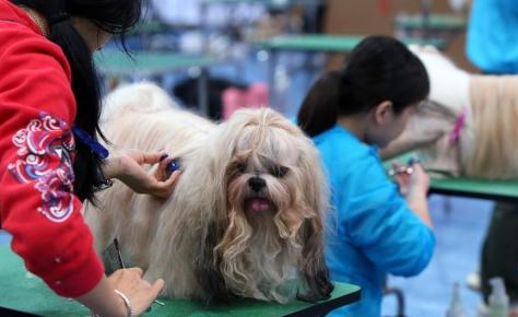 Груминг пса перед выставкой