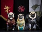 Мопсы в костюмах героев Игры престолов
