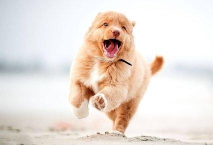 Щенок радостно бежит