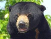 Малайский медвежонок
