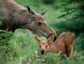 Мать лосиха с детенышем