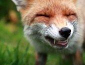 Лисицы и енотовидные собаки