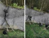 Шимпанзе Белфаст