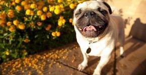 Мопс улыбается на фоне цветов