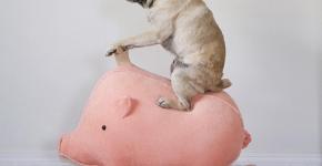 Мопс на свинке