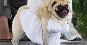 Мопс в платье