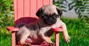 Щенок на розовом стуле