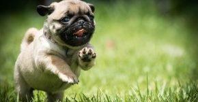 Мопс бежит по травке