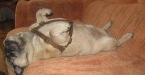 Мопс спит на спинке