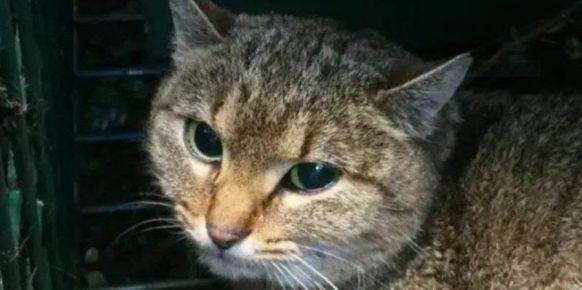 Кошка-лиса