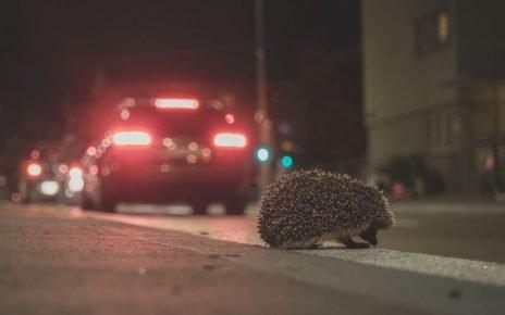 Ёж на дороге