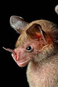 Летучая мышь южного копьеноса