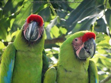Большой зелёный ара