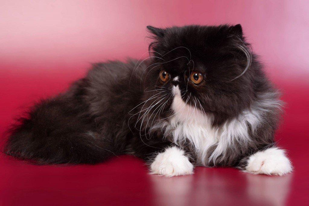 черный персидский котенок фото этой датой