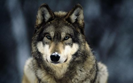 Волк смотрит