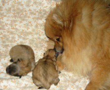 Щпиц со щенками