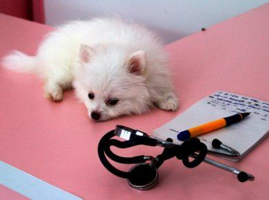 Шпиц у ветеринара
