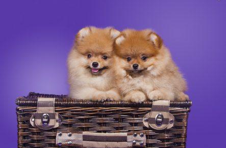 Два щенка шпица