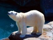 Белый медведь в вольере