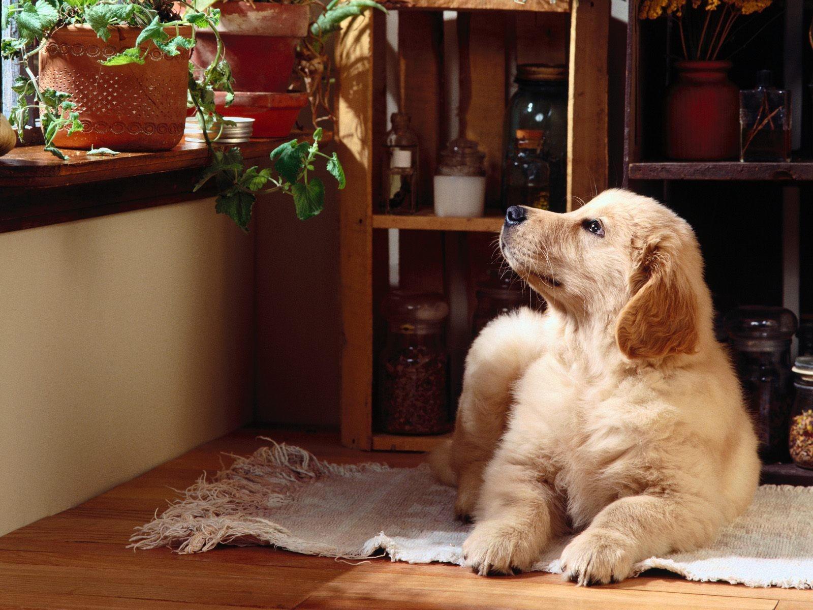 Породы собак в квартире с картинками