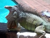 Зелена игуана
