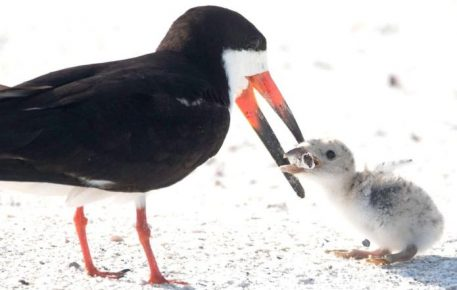 Чёрный скиммер кормит птенца окурком