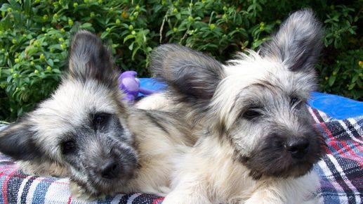 Два щенка скайтерьера