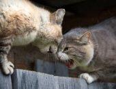 Борьба котов