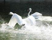 Лебеди-шипуны