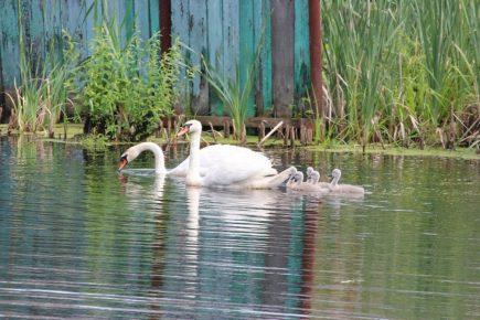 Лебединая семья