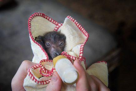 Кормление детеныша летучей мыши молочной смесью